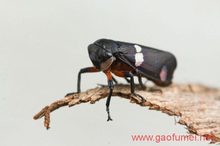 宾夕法尼亚州立大学研发出隐形材料灵感来源于叶蝉翅膀 仿生科技 第1张-泥人传说