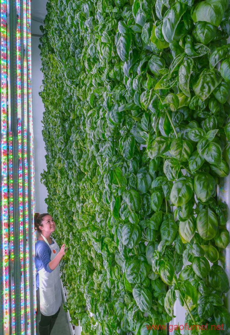 垂直农场Plenty获新一轮2亿美元融资它的产量比传统农场高350倍 农业科技 第2张-泥人传说